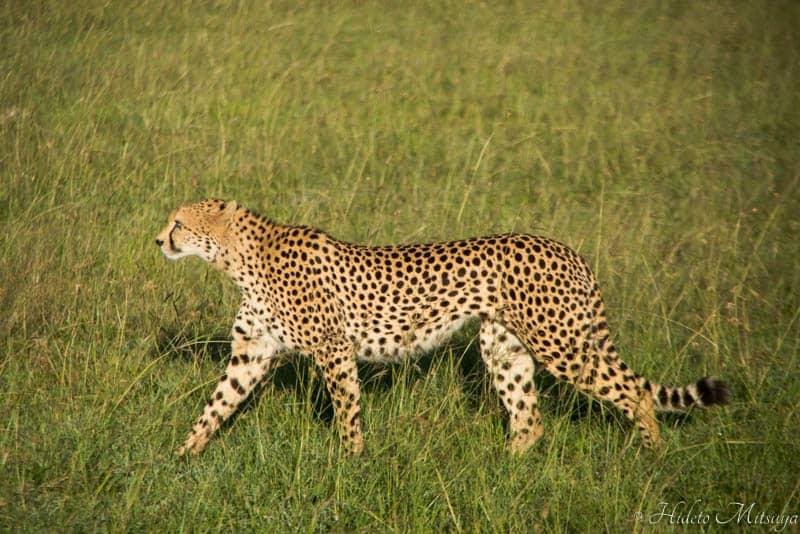 マサイマラ国立公園サファリで見るチーター