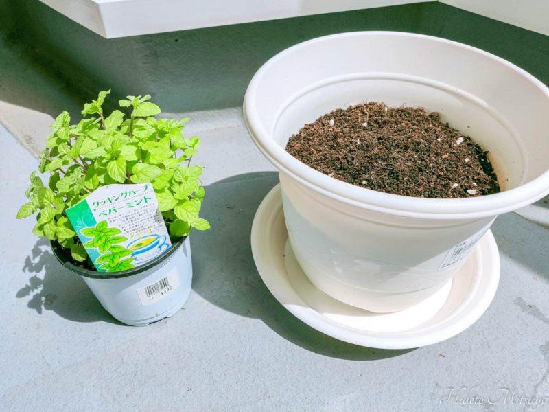 植え替えるミントの苗と鉢
